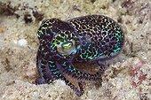 Berrys Bobtail Cuttlefish on sand - Triton Bay West Papua