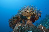 Featherstars in Current - Tanimbar Islands Moluccas