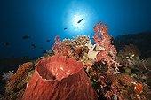 Coral Reef with Barrel Sponge - Kai Islands Moluccas