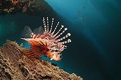 Zebra Lionfish under a Jetty - Ambon Island Moluccas