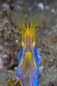 Ribbon Eel in reef - Ambon Island Moluccas