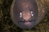 Portrait of White-eyed Moray in reef - Ambon Island Moluccas