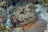 Estuarine Stonefish on reef - Ambon Island Moluccas