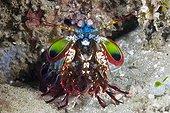 Mantis Shrimp on reef - Ambon Island Moluccas