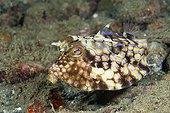 Thornback Boxfish on reef - Ambon Island Moluccas