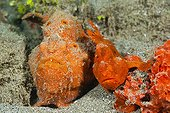 Pair of orange Spotted Frogfish - Ambon Island Moluccas