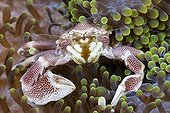 Porcelain Crab associated with Sea Anemone - Ambon Moluccas