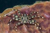 Coral Crab inside Barrel Sponge - Ambon Moluccas