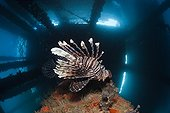 Red Lionfish under a Jetty - Ambon Moluccas