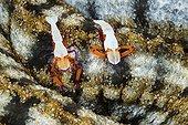 Pair of Emperor Shrimp on Sea Cucumber - Ambon Moluccas
