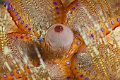 Detail of Fire Urchin - Ambon Island Moluccas