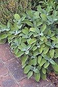 Kitchen sage 'Broad Leaf' in a garden
