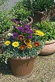 Pot of gazanias in bloom in a garden