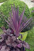 Pot of cordyline 'Pink Passion' in a garden