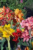 Cannas en fleur dans un jardin