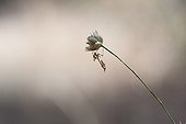 Conehead Mantis on flower in the scrubland - France
