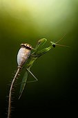 Black eyes Praying mantis on capsule - France ; A young mantis with black eyes contorts to better observe the photographer.