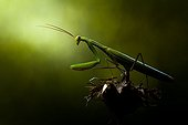 Praying mantis in the scrubland in the late afternoon - France
