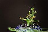 Praying mantis on flower Passiflora - France