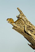 Unstriped Ground Squirrel atop dead tree - Chobe Botswana