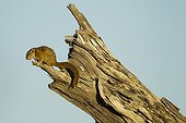 Unstriped Ground Squirrel atop dead tree - Chobe Botswana