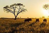 Gnous à queue noire à l'aube - Chobe Botswana