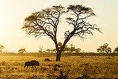 Gnou à queue noire à l'aube - Chobe Botswana