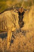 Portrait de Gnou à queue noire à l'aube - Chobe Botswana