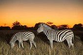 Plains Zebras at dusk - Moremi Botswana