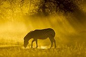 Plains Zebra in cloud of dust at dusk - Moremi Botswana