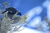 Black grouse feeding on a Fir tree in winter - Switzerland