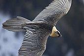 Lammergeier subadult in flight - Alps Switzerland