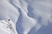 Chamois moving in deep snow - Switzerland Alps