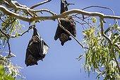 Black Flying Foxes hanging - Queensland Australia