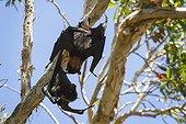 Black Flying Foxes fighting - Queensland Australia