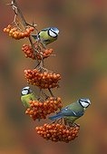 Blue Tits perched on a Rowan with berries in autumn - GB
