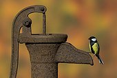Great Tit perched on an old water pump in autumn - GB