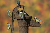 Great & Blue Tit perched on an old water pump in autumn - GB