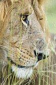 Portrait of male lion in the savanna - Masai Mara Kenya