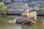 Lion eating a hippo in a river - Masai Mara Kenya