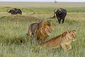 Male and female Lions in the savannah - Masai Mara Kenya ; leaving face to male buffalos