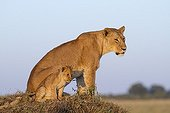 Lioness and cub on a termite hill - Masai Mara Kenya