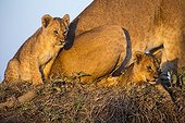 Lioness and cubs on a termite hill - Masai Mara Kenya