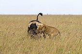Lioness chasing a young buffalo - Masai Mara Kenya