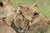 Cuddling lionesses in the savannah - Masai Mara Kenya