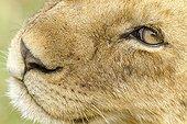 Portrait of Lion in the savannah - Masai Mara Kenya