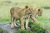 Lion cubs in savannah - Masai Mara Kenya