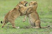 Lion cubs playing in savannah - Masai Mara Kenya