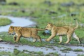 Lion cubs playing under the rain - Masai Mara Kenya