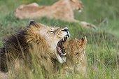 Lion and cub lying in savanna - Masai Mara Kenya